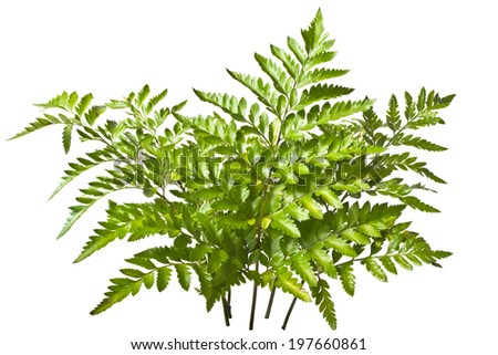 sprigs of fern isolated on white background - stock photo