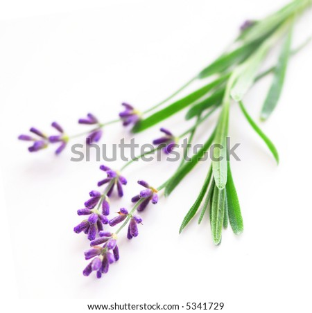 Sprigs of lavender isolated on white background - stock photo