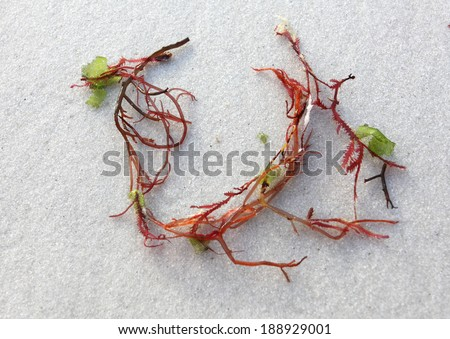 Sprigs of red seaweed on white sandy beach.  Close up with the focus to upper portion only - stock photo
