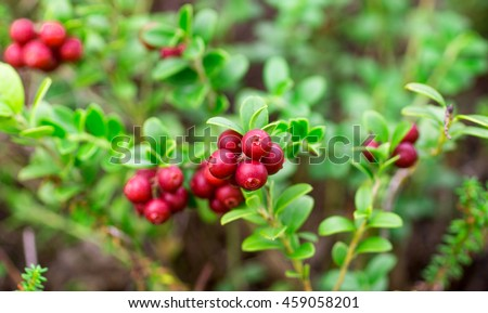 Sprigs of ripe berries in the forest. Cranberries. Selective focus - stock photo