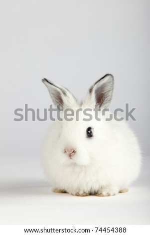 Spring and Easter concept image. Front view of one white bunny rabbit  sitting on its paws, over a light grey background, looking at camera. High resolution studio image with copy-space for your ad.