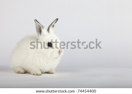 Spring and Easter concept image. One white bunny rabbit with grey ears sitting on its paws, over a light grey background. High resolution studio image with copy-space for your ad.
