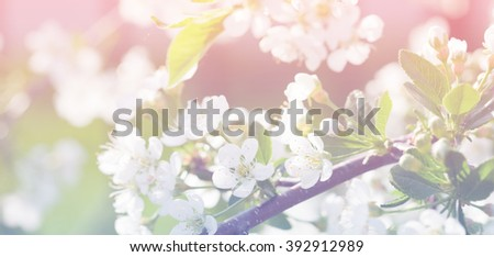 Spring apple blossom, flowers over a light color background