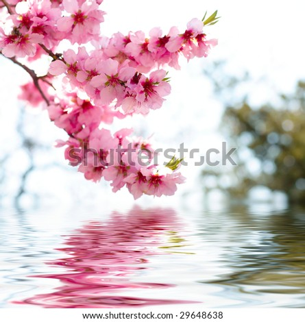 Spring apple blossoms - stock photo