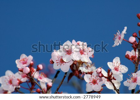 Spring apple blossoms against deep blue sky. Selective focus on the central bunch. - stock photo