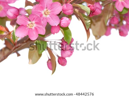 Spring apple blossoms on white background,closeup. - stock photo