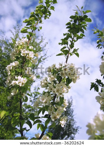 Spring apple / pear tree flowers against blue sky - stock photo