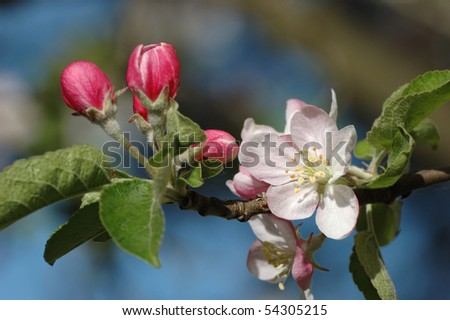 Spring apple tree blossom closeup - floral background - stock photo