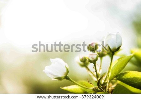 Spring background.apple flowers. spring backdrop. Soft image of a blossoming tree. Copy space for inscription or objects. - stock photo