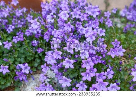 Spring background of blue bell flowers  - stock photo