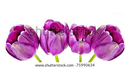 Spring background of pink tulips on white with space for text - stock photo
