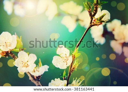 Spring Background.Spring flowers.Blossom tree over nature background. - stock photo