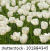 Spring background with beautiful white tulips - stock photo