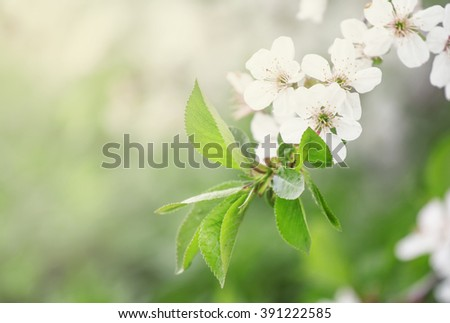 Spring background with blooming cherry trees, blurred image, shallow depth of field - stock photo