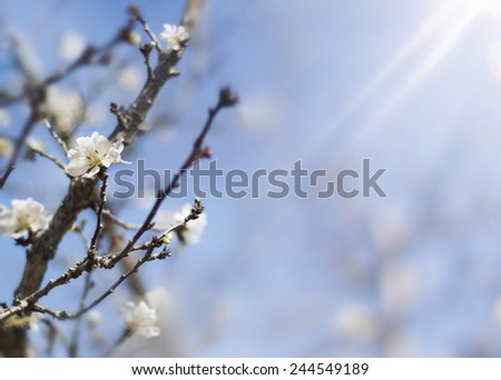Spring background with blue sky and blooming apricot trees - stock photo