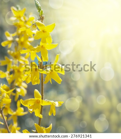 Spring background with bokeh and yellow forsythia - stock photo