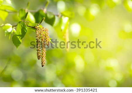 Spring background with branch of birch with catkins in sunshine - stock photo