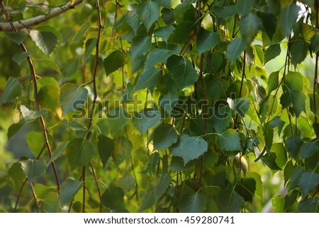 Spring background with bright green leaves of birch - stock photo