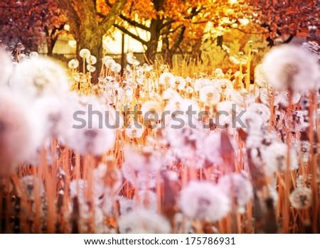 Spring  background with dandelion at sunrise - stock photo