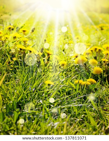 Spring background with dandelions and sunbeams/Dandelions sunlit/Spring field with dandelions on bright sunny day. - stock photo
