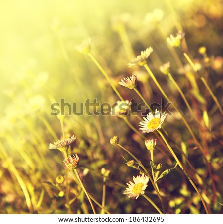 Spring background with field of little chamomile flowers, Daisy flowers
