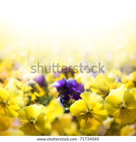 spring background with flowering pansies - stock photo