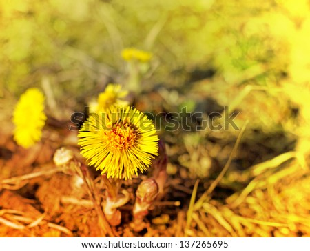 Spring background with flowers/Coltsfoot flower growing outdoors/Tussilago farfara, commonly known as Coltsfoot - stock photo