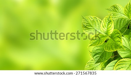 Spring background with leaves of a hydrangea  - stock photo