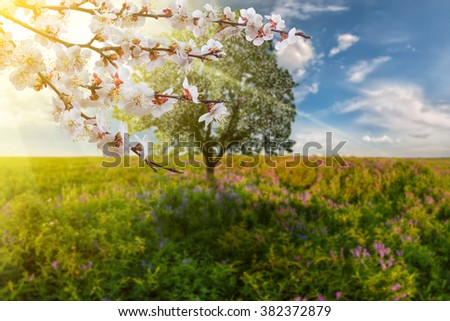 Spring background with tree on meadow and blooming branch, selective focus - stock photo