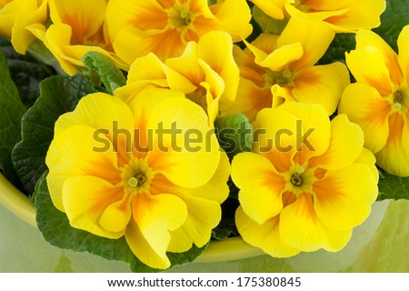 Spring background with Yellow Primula Flowers