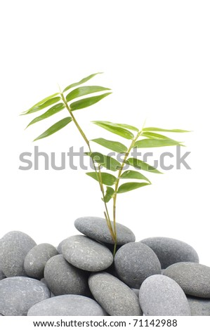 Spring bamboo plant on gray stones