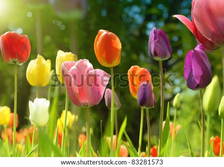 Spring beauties - stock photo