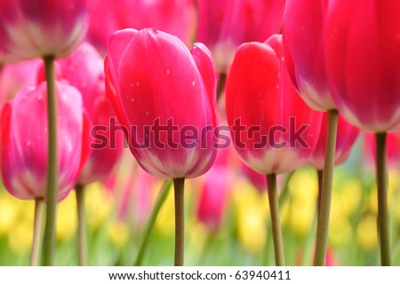 Spring beautiful tulip field in historic butchart gardens, vancouver island, british columbia, canada - stock photo