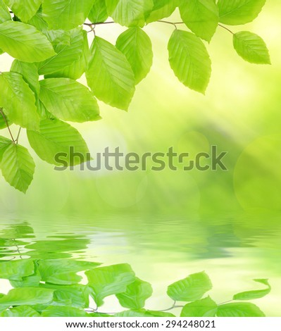 Spring Beech branch with green leaves - stock photo