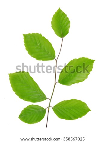 Spring Beech branch with green leaves isolated on white background - stock photo