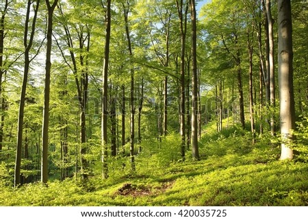 Spring beech forest. - stock photo