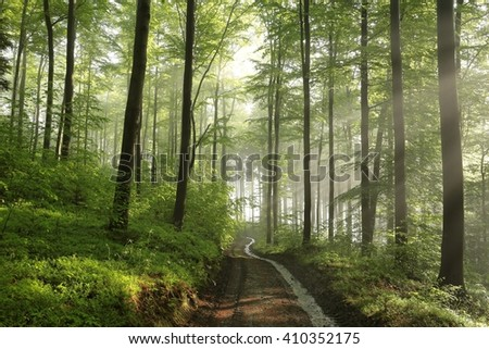 Spring beech forest after rainfall. - stock photo