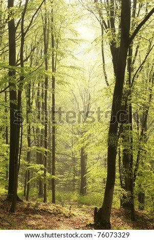 Spring beech forest illuminated by the rising sun. - stock photo
