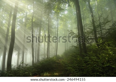 Spring beech forest in the fog. - stock photo