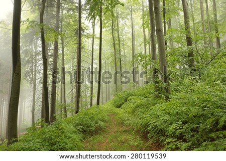 Spring beech forest in the fog.