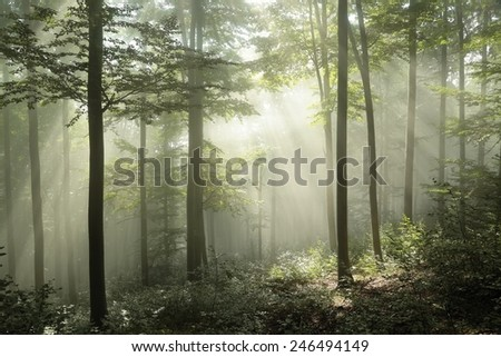 Spring beech forest in the morning. - stock photo