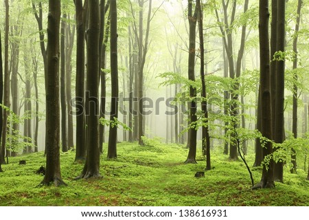 Spring beech forest in the mountains of the southern Polish. - stock photo