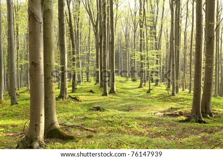 Spring beech forest on the mountain slope in a nature reserve. - stock photo