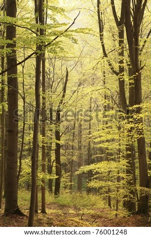 Spring beech forest on the slope in the morning sun. - stock photo