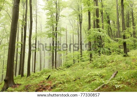 Spring beech forest. Photo taken in the mountains of Central Europe.