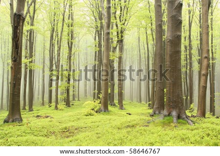 Spring beech forest with thick trees in the foreground and mist in the distance. - stock photo