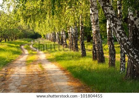 Spring birch alley - stock photo