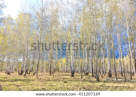 spring birch forest against rainy clouds