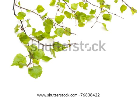 Spring Birch isolated on white - stock photo