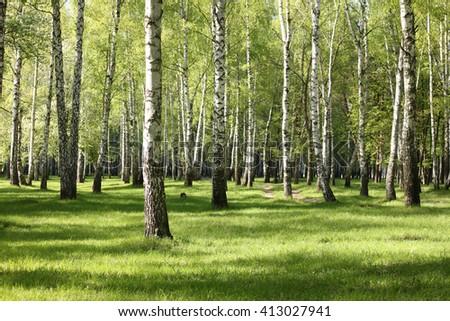 Spring birch trees in forest, beautiful birch grove, birch-wood, green landscape - stock photo